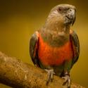 Papoušek Oranžovoprsý (ZOO Dvůr Králové)