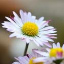 Přirozená krása - sedmikráska