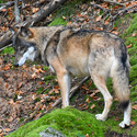 Vlk v NP Šumava