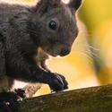 vevericka