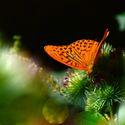 oranžový motýl