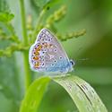 Modrásek jehlicový