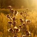 bodlák při západu slunce