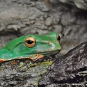 Zelená kráska