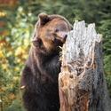 Když se medvěd naštve, lítaj třísky