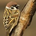 Portrét unaveného vrabce ...