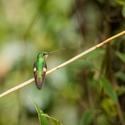 Kolibřík Mitchellův