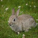 Skotský volně pobíhající králík na chvilku poseděl....