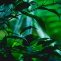 Ve stínech listů číha smrt