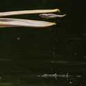 Létající ryba ...