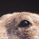 Psoun prériový