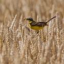 konipas luční , shánění potravy v pšeničném poli