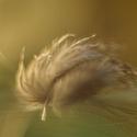 Jemnost peříčka