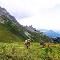 zvědavé obyvatelky alpských pastvin