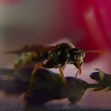 včelka na průzkumu