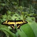 otakárek (Papilio cresphontes)