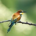 (Merops apiaster) Vlha pestrá