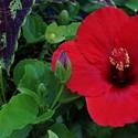 Fialové poupě a rudý květ.