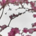 Ara hyacintový