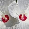 Biely kvet.....