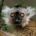 Lemur černý