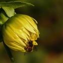 Jiřinka se včeličkou...