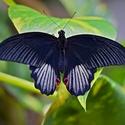 Papilio ...