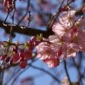 Už nám kvetou sakury