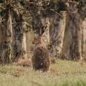 Zajíc polní