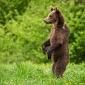 Medvěd hnědý - Ursus arctos