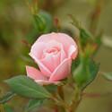 Růže mezi trním