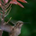 A zase kolibřík...