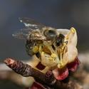 Včela při první jarní práci
