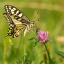 ,, Rezervace motýlů s jednou květinou ...