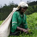 Sri Lanka, cesacka caje