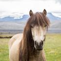 Islandský krasavec