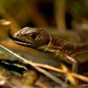 Podzimní portrét ještěrky zelené
