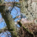 Hřivnáč na hnízdě