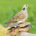 Hrdlička divoká (Streptopelia turtur) - Turtle Dove