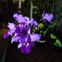 Modrá orchidej ze skleníku Fata Morgana