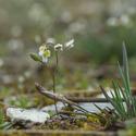 Na skále kvetou osívky