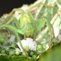 Jeden z mála našich zelených pavouků
