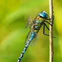 Šídlo rákosní - Aeshna affinis