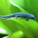 Drobný gekon modrý