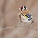 Stehlík obecný - Carduelis carduelis - Goldfinch