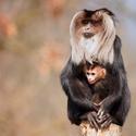 Makak lví