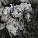 Šípková růže (černobílá grafika)