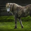 Koňomut