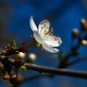 Květ pod Petřínem