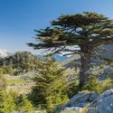 Cedr pod vrcholem Tahtali Dagi v Turecku